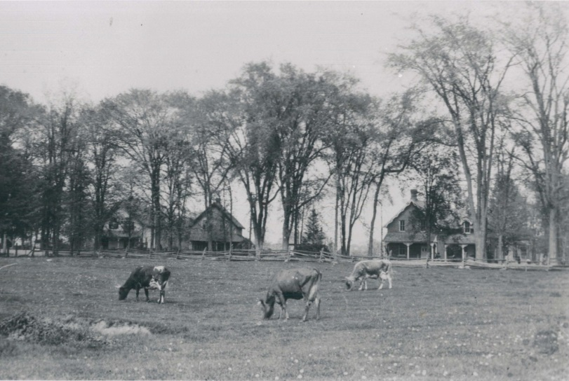 Cows in a field where the Royal College now sits